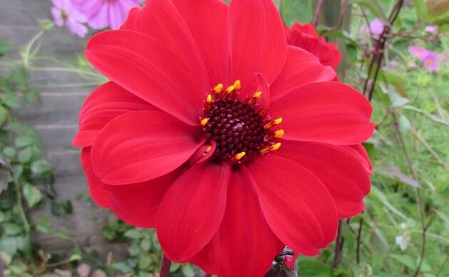 <b>Päonienblütige Dahlia - <i>Dahlia x hortensis</i></b>