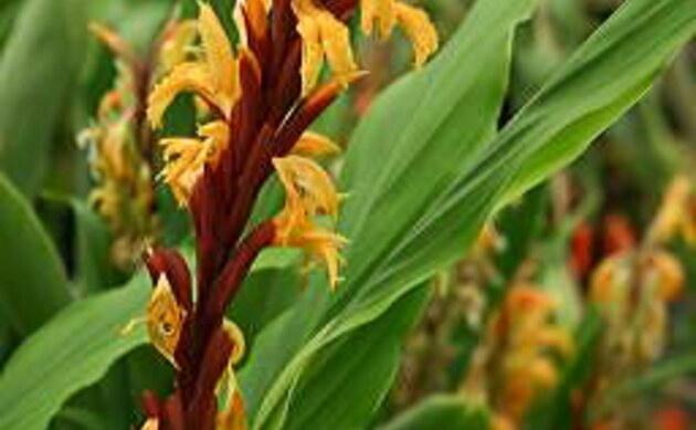 <b>Ingwerorchidee - <i>Cautleya spicata</i></b>