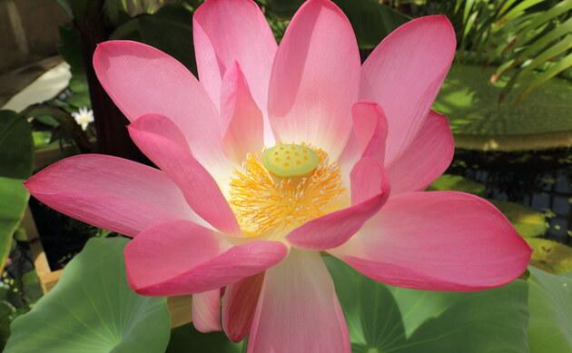 <b>Indische Lotusblume - <i>Nelumbo nucifera</i></b>