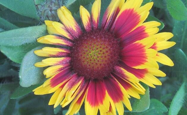 <b>Kokardenblumen - <i>Gaillardia spec.</i></b>