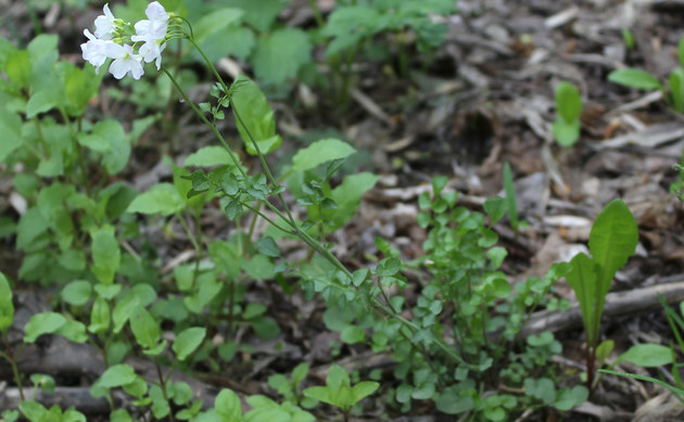 <b>Sumpf-Schaumkraut - <i>Cardamine palustris</i></b>
