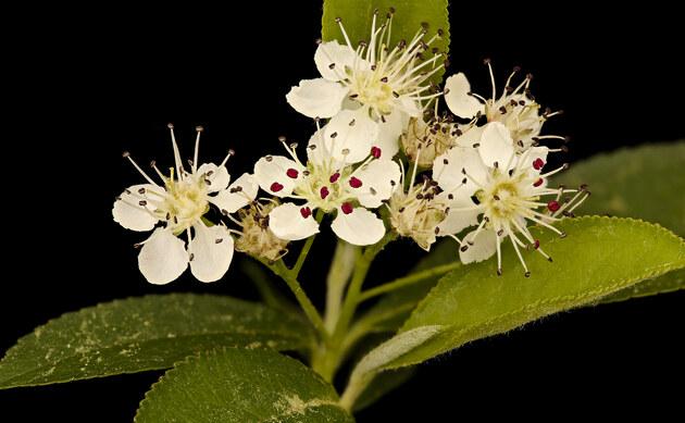 <b>Schwarzfrüchtige Apfelbeere - <i>Aronia melanocarpa</i></b>