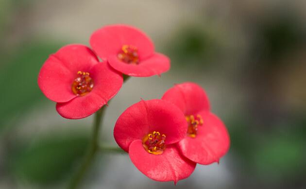 <b>Christusdorn - <i>Euphorbia milii</i></b>