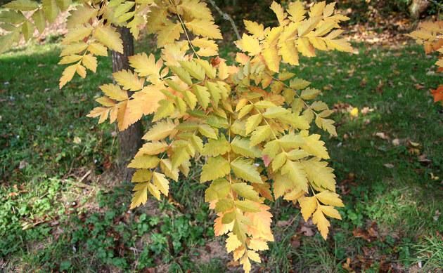 <b>Blasenbaum - <i>Koelreuteria paniculata</i></b>
