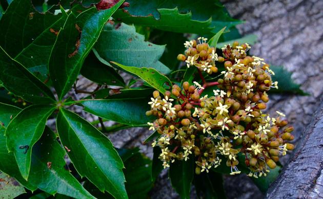 <b>Fünfblättrige Junfernrebe - <i>Parthenocissus quinquefolia (L.)</i></b>