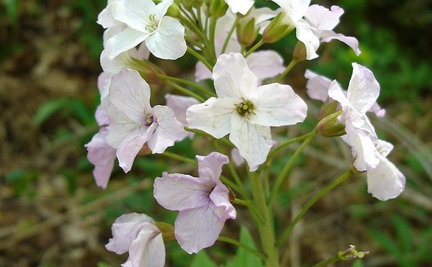<b>Fieder-Zahnwurz - <i>Dentaria heptaphylla</i></b>