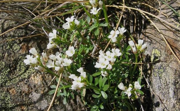 <b>Resedablättriges Schaumkraut - <i>Cardamine resedifolia</i></b>