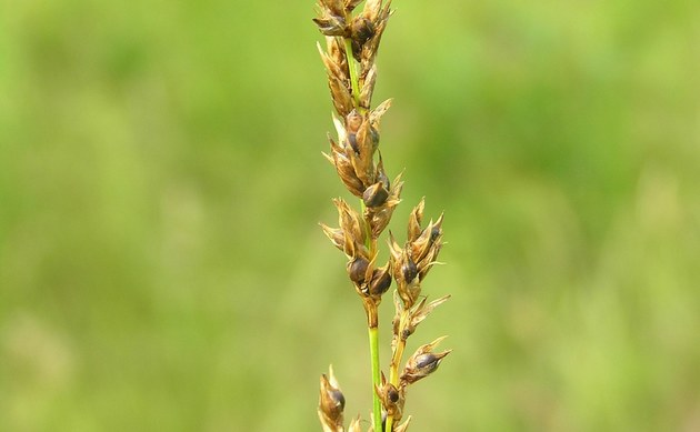 <b>Schwarzschopf-Segge - <i>Carex appropinquata</i></b>