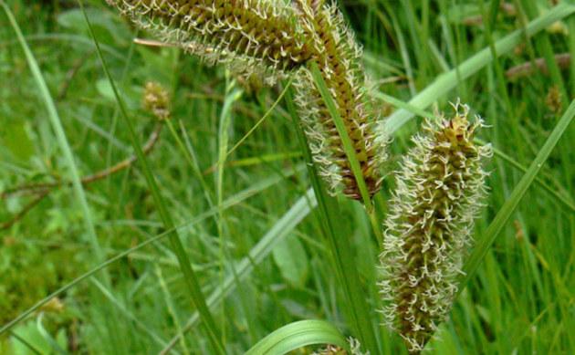 <b>Wasser-Segge - <i>Carex aquatilis</i></b>