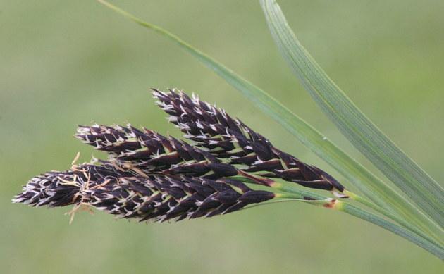 <b>Trauer-Segge - <i>Carex atrata</i></b>