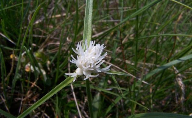 <b>Monte Baldo-Segge - <i>Carex baldensis</i></b>