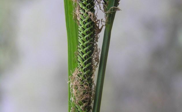 <b>Banater Segge - <i>Carex buekii</i></b>