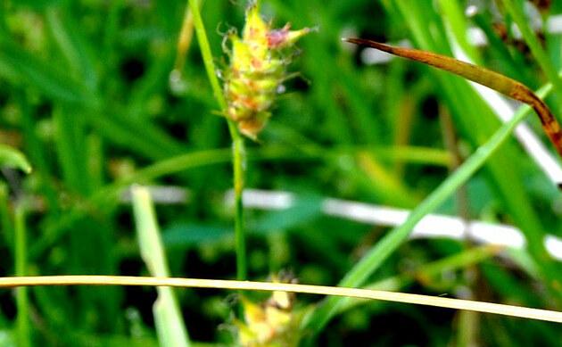 <b>Kopf-Segge - <i>Carex capitata</i></b>