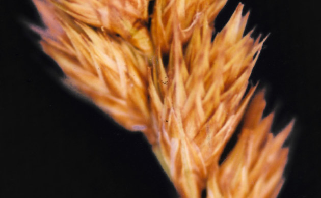<b>Crawfords Segge - <i>Carex crawfordii</i></b>