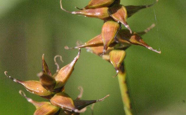 <b>Davalls Segge - <i>Carex davalliana</i></b>