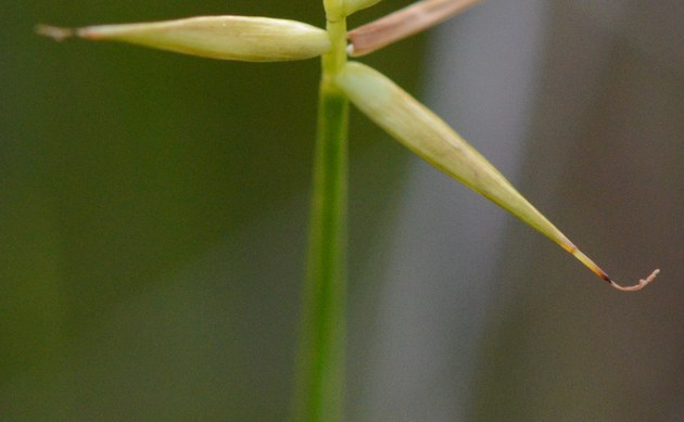 <b>Armblütige Segge - <i>Carex pauciflora</i></b>