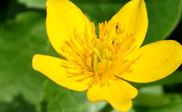 Sumpfdotterblume - Caltha palustris
