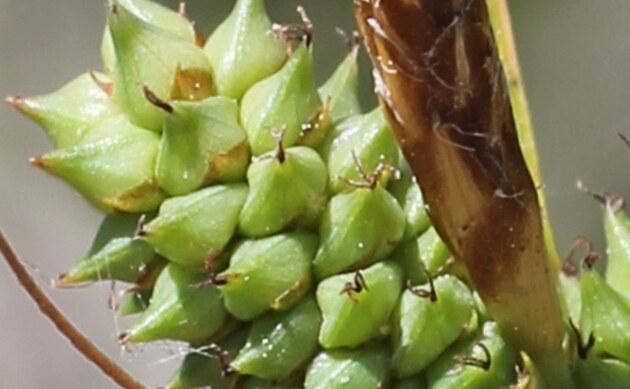 <b>Strand-Segge - <i>Carex extensa</i></b>