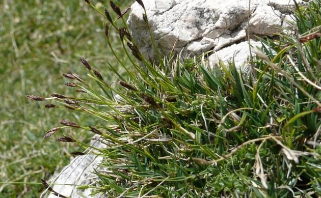<b>Polster-Segge - <i>Carex firma</i></b>