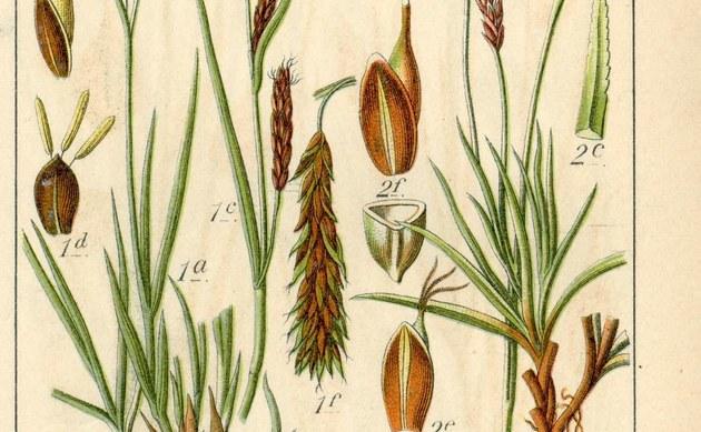 <b>Kälteliebende Segge - <i>Carex frigida</i></b>