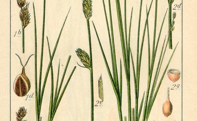 <b>Torf-Segge - <i>Carex heleonastes</i></b>