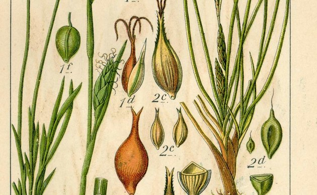 <b>Gersten-Segge - <i>Carex hordeistichos</i></b>