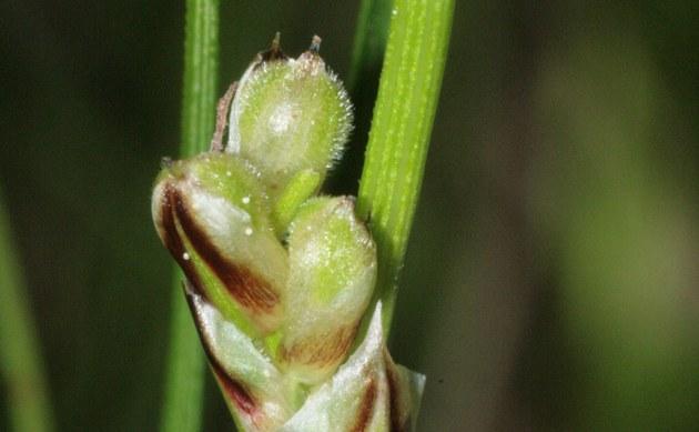 <b>Erd-Segge - <i>Carex humilis</i></b>