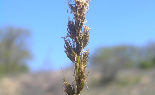 <b>Französische Segge - <i>Carex ligerica</i></b>