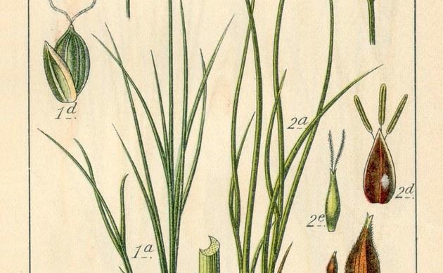 <b>Lolchartige Segge - <i>Carex loliacea</i></b>