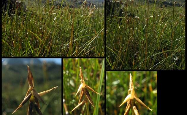 <b>Kleine Grannen-Segge - <i>Carex microglochin</i></b>