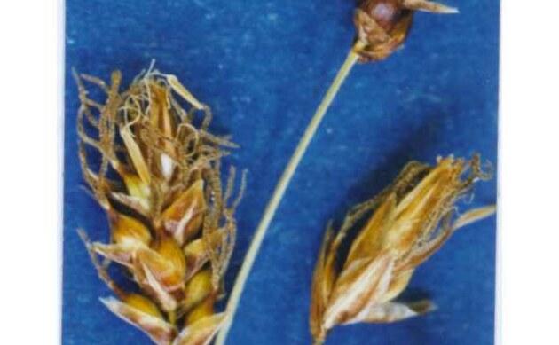 <b>Stumpfe Segge - <i>Carex obtusata</i></b>