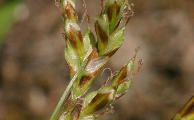 <b>Vogelfuß-Segge - <i>Carex ornithopoda</i></b>