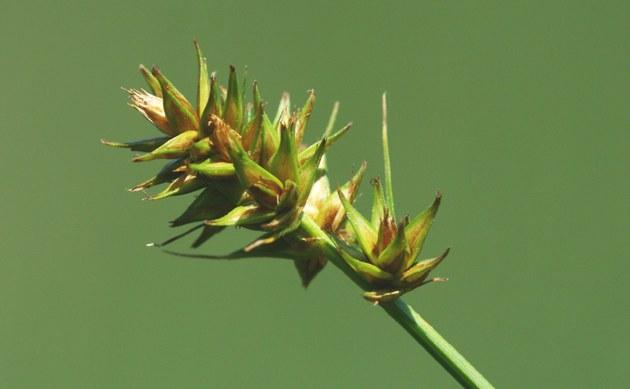 <b>Hain-Segge - <i>Carex otrubae</i></b>