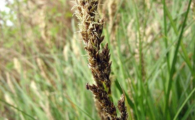 <b>Rispen-Segge - <i>Carex paniculata</i></b>
