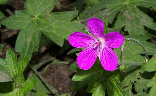 <b>Sumpf Storchschnabel - <i>Geranium palustre</i></b>