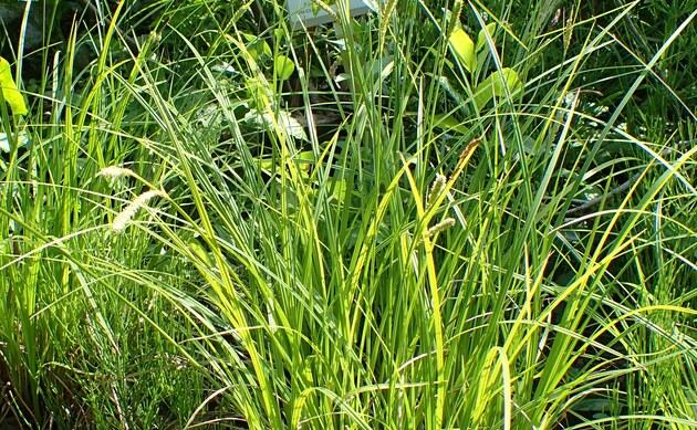 <b>Inn-Segge - <i>Carex randalpina</i></b>