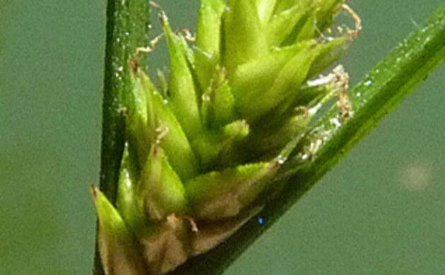 <b>Winkel-Segge - <i>Carex remota</i></b>