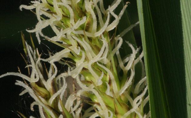 <b>Ufer-Segge - <i>Carex riparia</i></b>