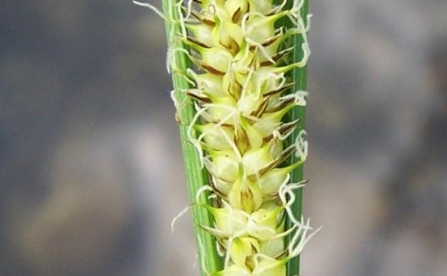 <b>Schnabel-Segge - <i>Carex rostrata</i></b>