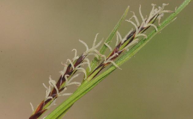 <b>Immergrüne Segge - <i>Carex sempervirens</i></b>