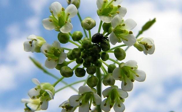 Gewöhnliches Hirtentäschel - Capsella bursa-pastoris