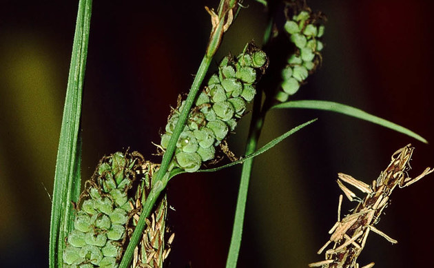 <b>Filz-Segge - <i>Carex tomentosa</i></b>