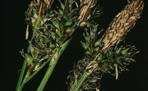 <b>Schatten-Segge - <i>Carex umbrosa</i></b>