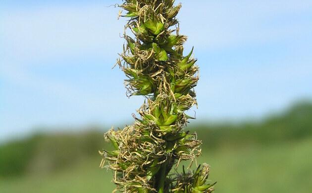 <b>Fuchs-Segge - <i>Carex vulpina</i></b>