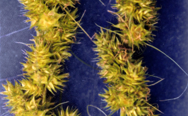 <b>Fuchsseggenähnliche Segge - <i>Carex vulpinoidea</i></b>