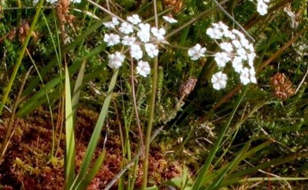 <b>Quirlblättriger Kümmel - <i>Carum verticillatum</i></b>