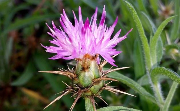 <b>Stern Flockenblume - <i>Centaurea calcitrapa</i></b>