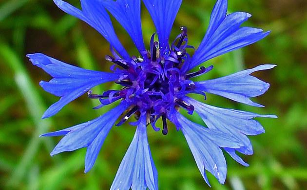 Kornblume - Centaurea cyanus