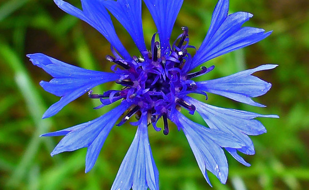 <b>Kornblume - <i>Centaurea cyanus</i></b>