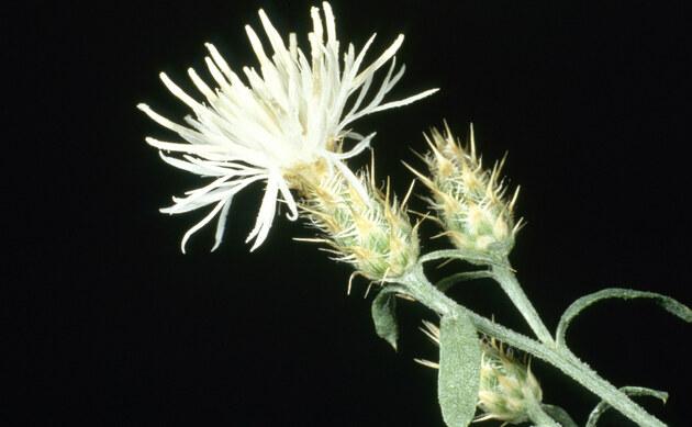 <b>Sparrige Flockenblume - <i>Centaurea diffusa</i></b>